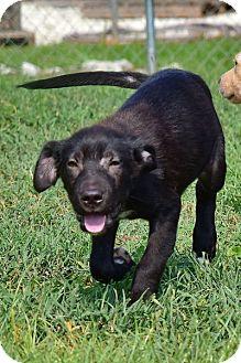 Labrador Retriever/Hound (Unknown Type) Mix Puppy for adoption in Deer Park, New York - Livingston Aka Jackson