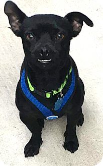 "Pug/Chihuahua Mix Dog for adoption in Seattle, Washington - ""Chuggy"""