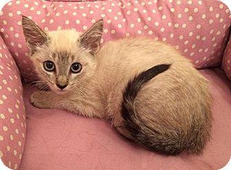 Siamese Kitten for adoption in Metairie, Louisiana - Delilah