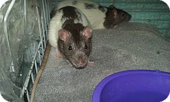 Rat for adoption in Palm Coast, Florida - Thelma and Louise