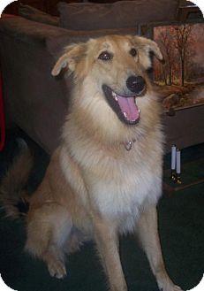 Collie/German Shepherd Dog Mix Dog for adoption in Winfield, Pennsylvania - Duke