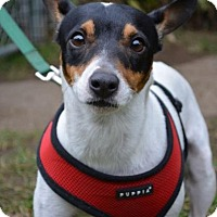 Rat Terrier Dog for adoption in Danbury, Connecticut - Jax