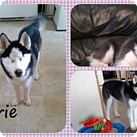 Adopt A Pet :: Carrie - DOVER, OH