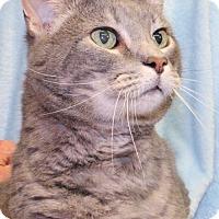 Domestic Shorthair Cat for adoption in Waynesboro, Pennsylvania - Marvin