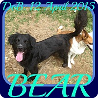 Adopt A Pet :: BEAR - White River Junction, VT