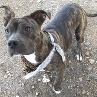 Adopt A Pet :: AUBREY - Pilot Point, TX