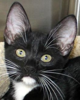 Domestic Shorthair/Domestic Shorthair Mix Cat for adoption in Victoria, Texas - Clawford