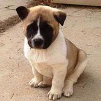 Akita Mix Dog for adoption in Denver, Colorado - Kisses
