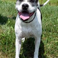 Adopt A Pet :: Roxie - Westampton, NJ