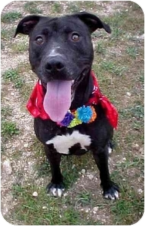 Pit Bull Terrier Mix Dog for adoption in Huntington, New York - Derrick