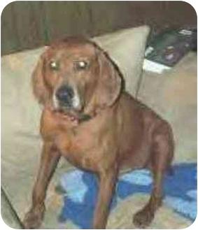 Redbone Coonhound Dog for adoption in Baltimore, Maryland - Cliffy