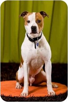 Pit Bull Terrier Dog for adoption in Portland, Oregon - Fletcher