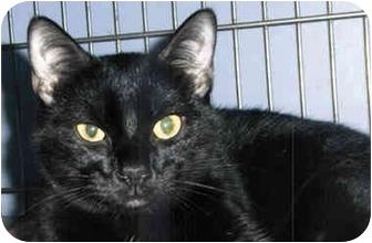 Domestic Shorthair Kitten for adoption in Medway, Massachusetts - Anna