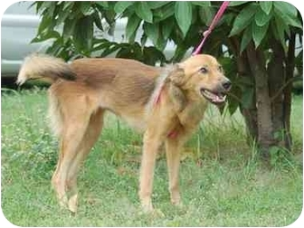 Golden Retriever/Sheltie, Shetland Sheepdog Mix Dog for adoption in Concord, California - Meilin