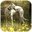Photo 3 - Greyhound/Whippet Mix Dog for adoption in Santa Rosa, California - Clay