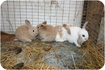 American Fuzzy Lop Mix for adoption in Brownsville, Oregon - Girl Bunnies