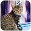Photo 2 - Domestic Shorthair Cat for adoption in Houston, Texas - Pumpkin