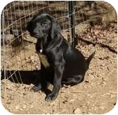 Labrador Retriever/Hound (Unknown Type) Mix Dog for adoption in Portland, Maine - Cupcake
