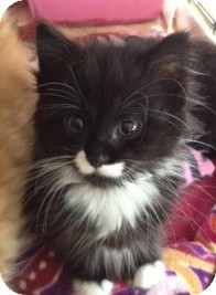 Domestic Longhair Kitten for adoption in Byron Center, Michigan - Fria