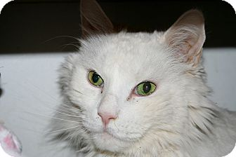 Maine Coon Cat for adoption in Scottsdale, Arizona - Puff