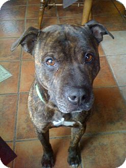 Pit Bull Terrier Mix Dog for adoption in Homer, New York - Bentley (was Butchie)