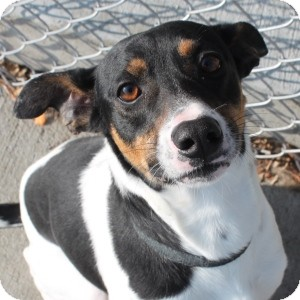 Rat Terrier Mix Dog for adoption in Naperville, Illinois - Rex