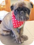Brussels Griffon Dog for adoption in Staunton, Virginia - Coco