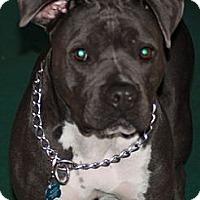 Adopt A Pet :: Rocco - Redondo Beach, CA