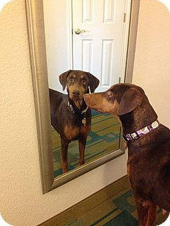 Doberman Pinscher Dog for adoption in Fort Worth, Texas - Ava