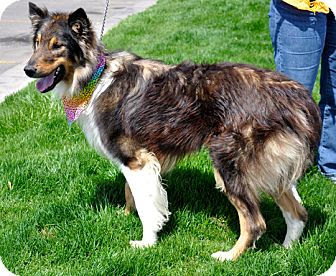 Collie Mix Dog for adoption in Great Falls, Montana - Ryder