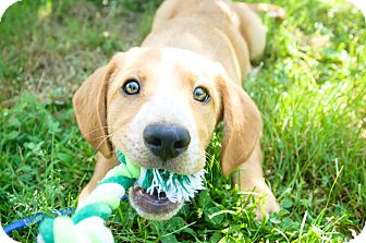 Beagle Mix Puppy for adoption in Wilmington, Delaware - Stripes