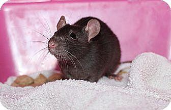 Rat for adoption in Austin, Texas - Blackberry