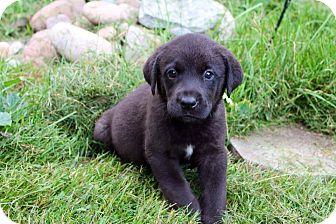 Labrador Retriever Mix Puppy for adoption in Garden City, Michigan - Dartmouth