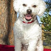 Adopt A Pet :: Clarke--sweet bichon boy---S - Santa Fe, TX