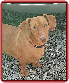 Dachshund Dog for adoption in Harrisonburg, Virginia - Biscuit (HF)