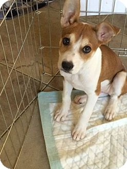 Terrier (Unknown Type, Medium) Mix Puppy for adoption in Mesa, Arizona - DAISY 10 WK TERRIER MIX@PETCO
