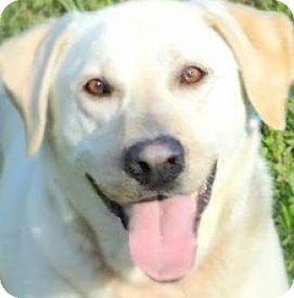 Labrador Retriever Dog for adoption in Wakefield, Rhode Island - CODY(LOST HIS FAMILY-PLS READ!