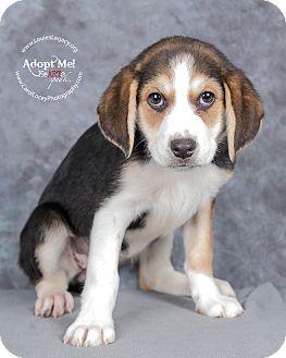 Catahoula Leopard Dog/Mountain Cur Mix Puppy for adoption in Cincinnati, Ohio - Dora