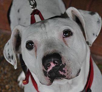 Staffordshire Bull Terrier/English Bulldog Mix Dog for adoption in Atlanta, Georgia - Louie