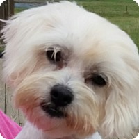 Adopt A Pet :: Snowy - San Antonio, TX