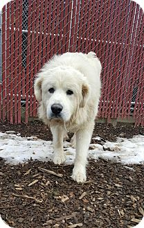 Great Pyrenees Mix Dog for adoption in South Park, Pennsylvania - Bailey
