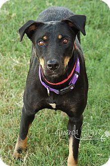 Shepherd (Unknown Type)/Labrador Retriever Mix Dog for adoption in Pilot Point, Texas - JANET