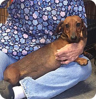 Dachshund Mix Dog for adoption in Covington, Virginia - Louie