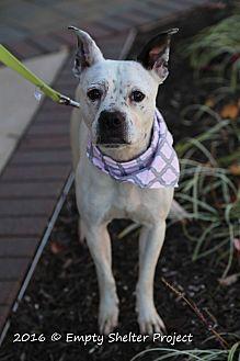 Boston Terrier/American Bulldog Mix Dog for adoption in Manassas, Virginia - Bella *Overlooked*