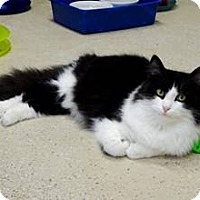 Domestic Longhair Cat for adoption in Belleville, Michigan - Clayton