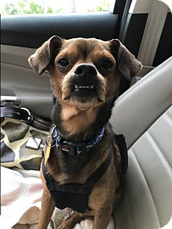 Dachshund/Pug Mix Dog for adoption in Baltimore, Maryland - Marvin