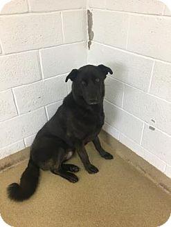 German Shepherd Dog Mix Dog for adoption in Miami, Florida - Osito