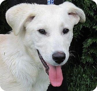 Labrador Retriever/Hound (Unknown Type) Mix Puppy for adoption in Germantown, Maryland - Trekker