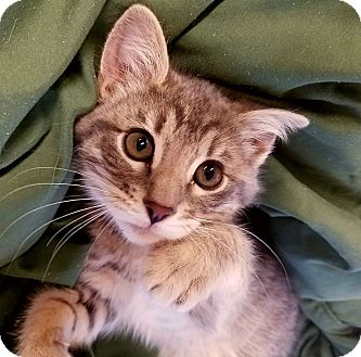 Domestic Longhair Kitten for adoption in Douglas, Wyoming - Sawyer