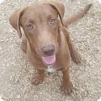 Adopt A Pet :: Cowboy - Boston, MA